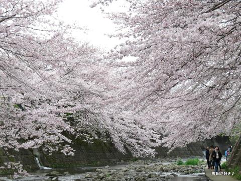 2016040265恩田川・高瀬橋付近の桜