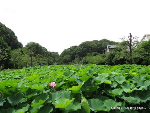 20140706003薬師池公園の大賀ハス(古代ハス)
