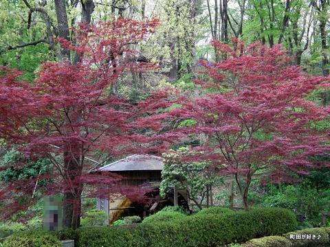 20120422082紅葉が燃えてます@薬師池公園