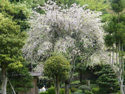 20090418141.jpg 薬師池公園 シダレザクラ(枝垂桜)