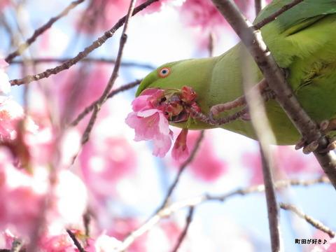 2016031911早咲きのサクラとインコ?@恩田川