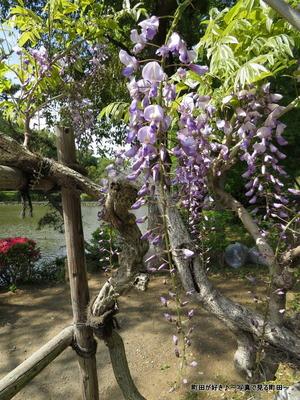 20140428140薬師池公園の藤の花
