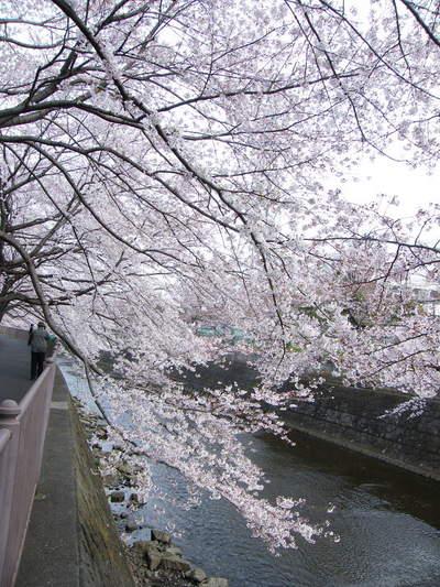 20090404023.jpg 恩田川の桜が見頃です