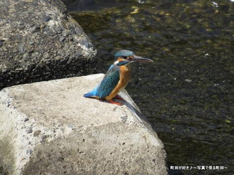 2014052404恩田川のカワセミ