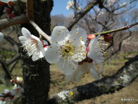 2012032043薬師池公園の梅の花