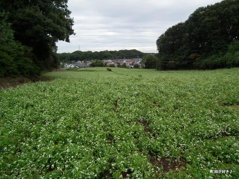 2011092344残念な、蕎麦の白い花たち
