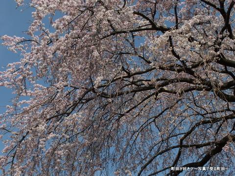 2013032038成瀬の紅しだれ桜