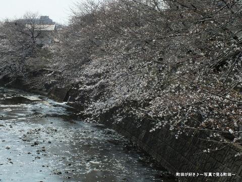 2013032055恩田川の桜@高瀬橋