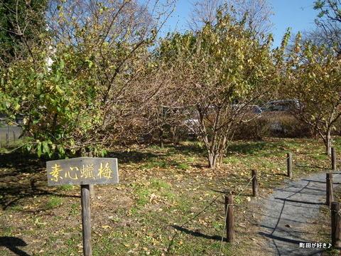 20101218003忠生公園蝋梅