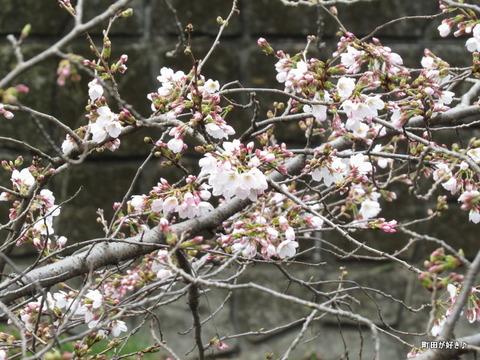 2016032105恩田川の桜