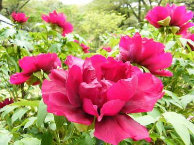 20090418066.jpg 町田ぼたん園 牡丹