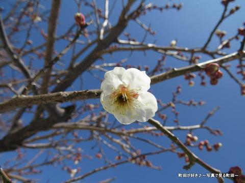 20140222035雪と梅の花@薬師池公園