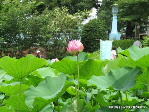 20140706017薬師池公園の大賀ハス(古代ハス)