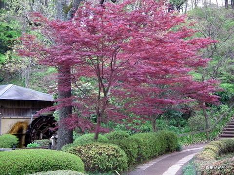 20120422079紅葉が燃えてます@薬師池公園