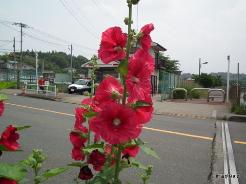 2011060514立葵(タチアオイ)