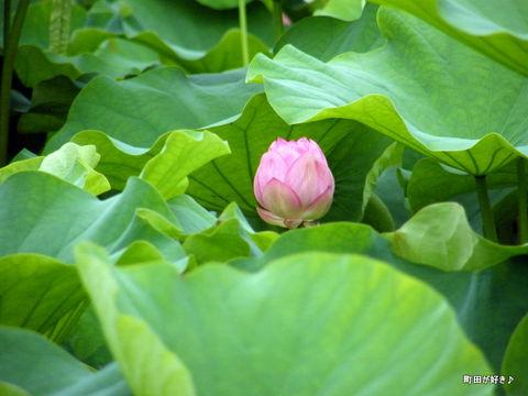 20100703097大賀ハス蓮ハス田つぼみ薬師池公園