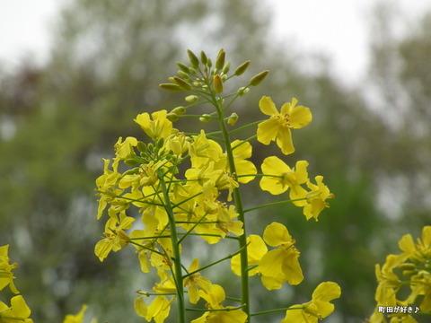 20120422064七国山の菜の花畑の様子