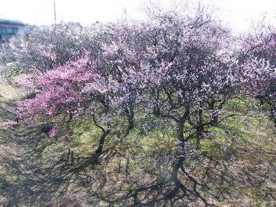 20090208087.jpg 第三小学校前近くの梅の花