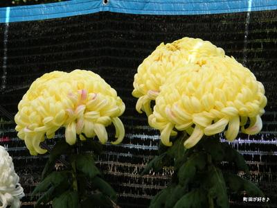 20091103067 第16回町田市菊花展