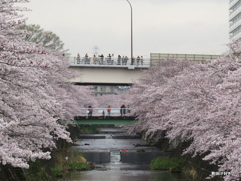 2016040318恩田川の桜