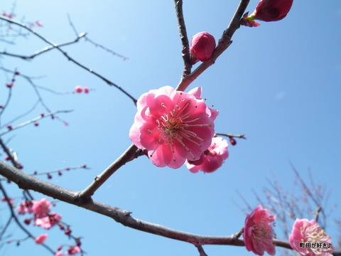 2012032038薬師池公園の梅の花