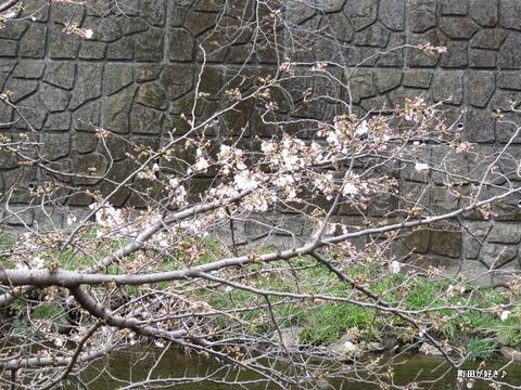 2016032104恩田川の桜