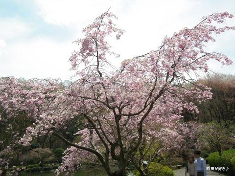 20120415125ヤエベニシダレ薬師池公園