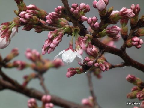 2012033173恩田川の桜、勝手に開花宣言