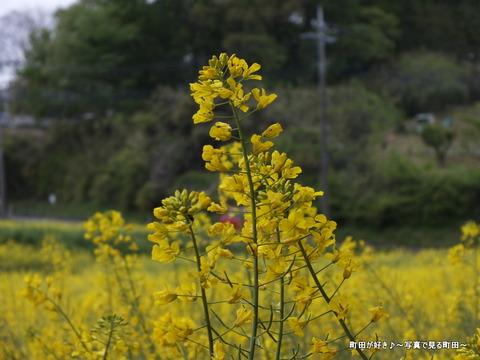 20130420092七国山の菜の花