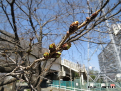 2014031605サクラのつぼみ@恩田川の桜並木