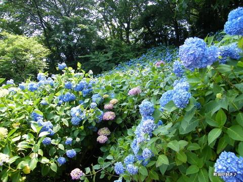 20100612160町田えびね苑<アジサイ>