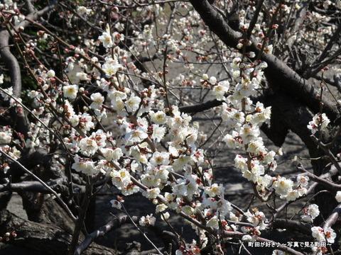 2014030836町田天満宮の梅の花