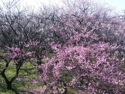 20090208088.jpg 第三小学校前近くの梅の花