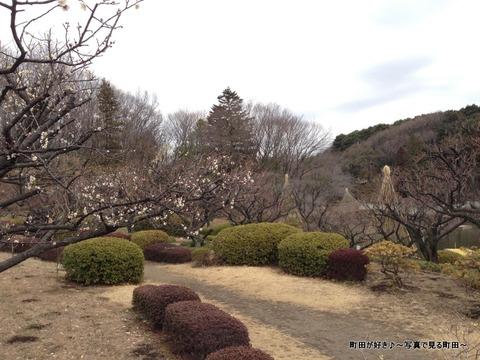 20130303122薬師池公園の梅の花