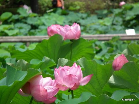 20110723043薬師池公園の大賀ハス