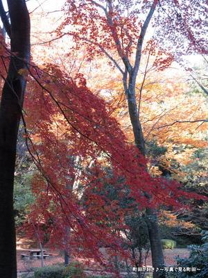2013112448芹ヶ谷公園の不思議な紅葉