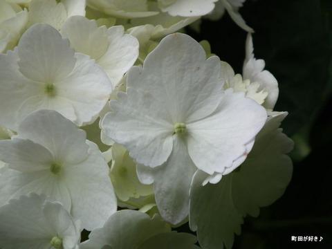 2011060544薬師池公園・紫陽花