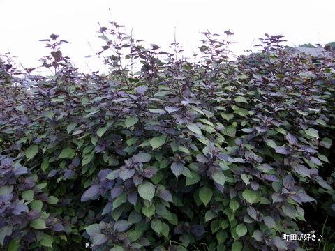 20101002018シソ(紫蘇)の花
