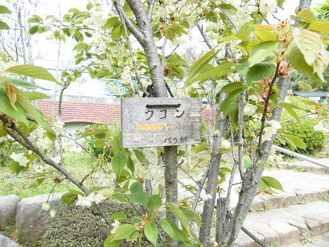 20090418131.jpg 薬師池公園のウコンザクラ(鬱金桜)