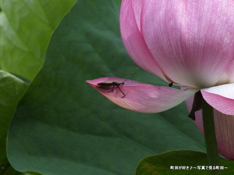 2013070615薬師池公園の大賀ハス