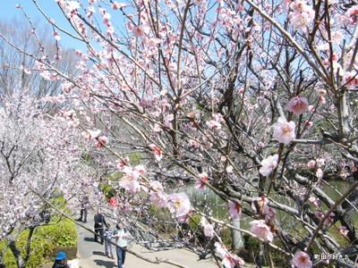 2010031466薬師池公園、梅花