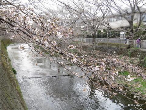 2016032101恩田川の桜