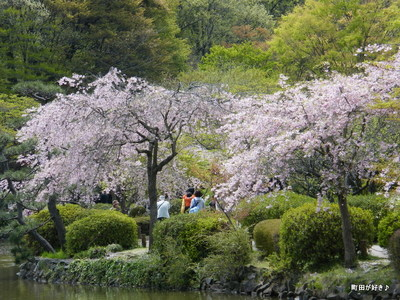 20100418120シダレザクラ(枝垂桜)