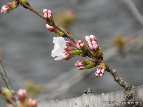 2015032101恩田川の桜並木