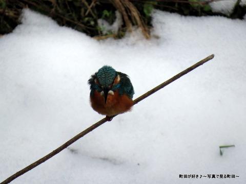 2014021102雪とカワセミ@恩田川