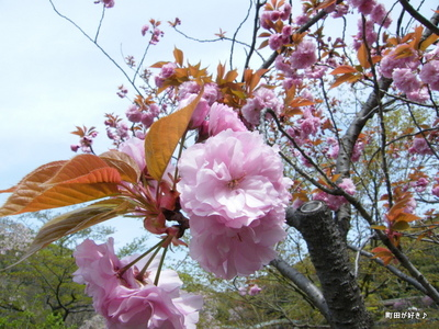 20100418129サトザクラ(里桜)