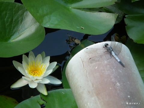 20110723093薬師池公園の睡蓮の花