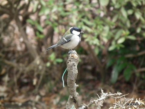 20110219107薬師池公園シジュウカラ