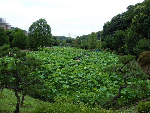 2009071123.jpg 薬師池公園の大賀ハスの花