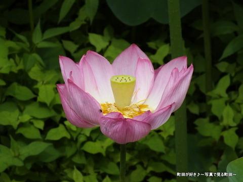 2013070618薬師池公園の大賀ハス